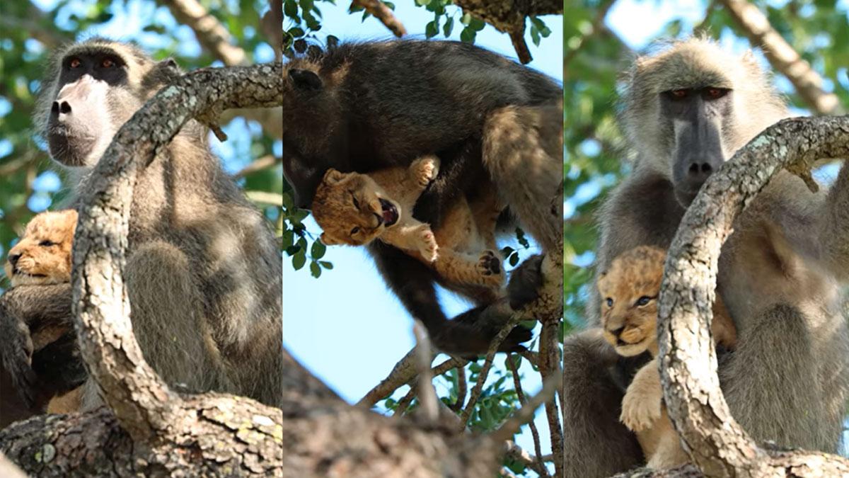 Un momento al estilo de «El rey león» quedó filmado en un parque de Sudáfrica